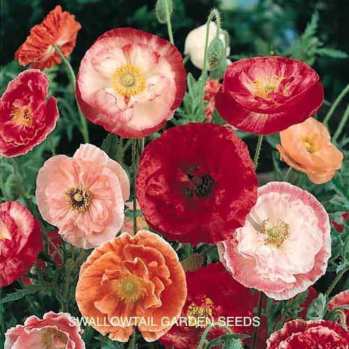 Double Mixed Shirley poppy