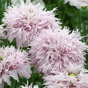 Pompom Poppy Lilac - Annual Flower Seeds