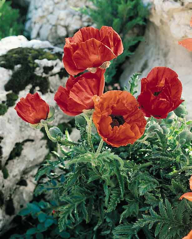 Oriental Poppy Dwarf Allegro - Papaver orientalis - Perennial Flower Seeds