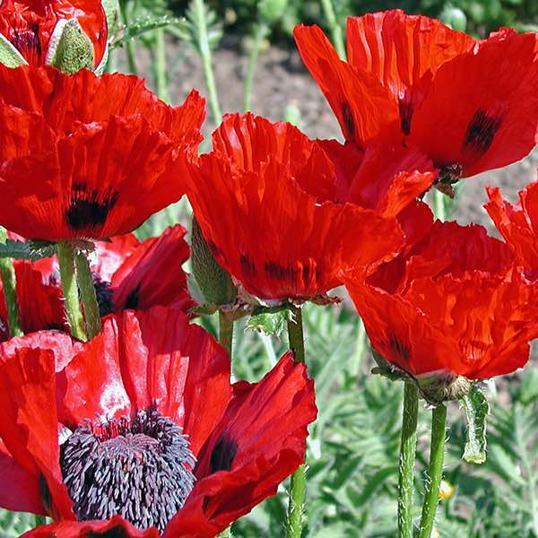 Oriental poppy seeds papaver orientalis perennial flower seeds oriental poppy beauty of livermere papaver orientalis mightylinksfo