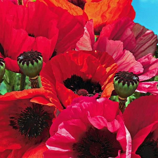 Oriental Poppy Fruit Punch - Papaver orientalis - Perennial Flower Seeds