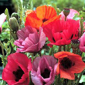 Haremstraum Mix Oriental Poppy Seeds