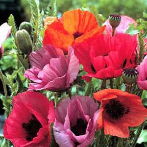 Oriental Poppy Haremstraum Mix - Papaver orientalis - Perennial Flower Seeds