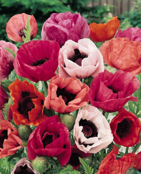 Oriental Poppy Pizzicato - Papaver orientalis - Perennial Flower Seeds