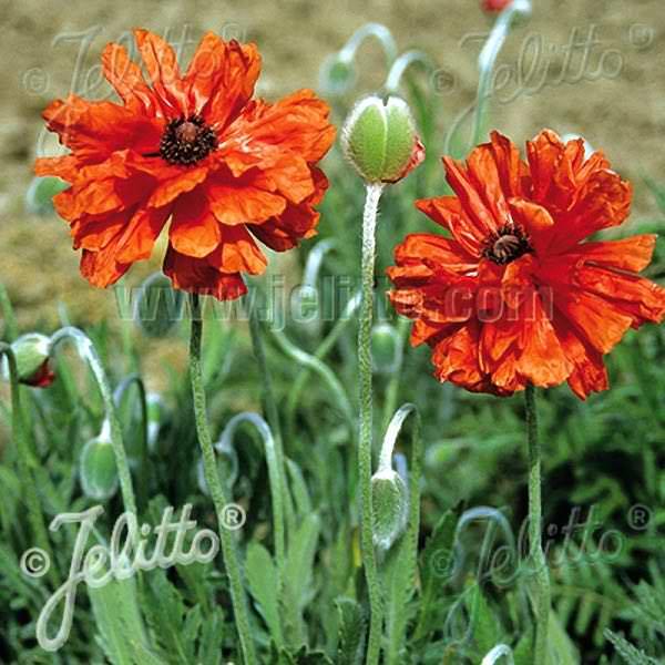 Oriental Poppy Semi Double Red Shades - Papaver orientalis - Perennial Flower Seeds