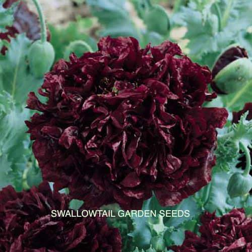 Poppy Peony Giant Double Black