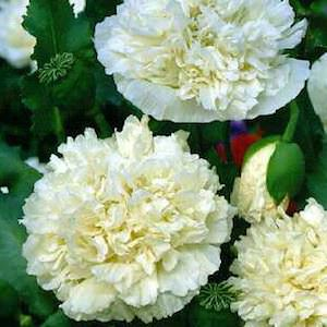 Poppy Peony Giant Double Cream