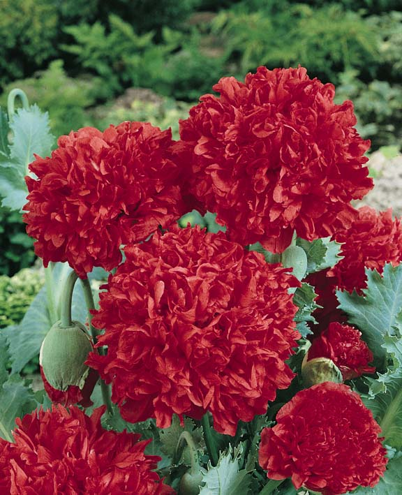 Peony Poppy Giant Double Red - Annual Flower Seeds