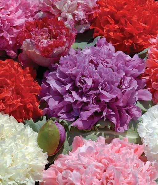 Ooh La La peony poppy blossoms.
