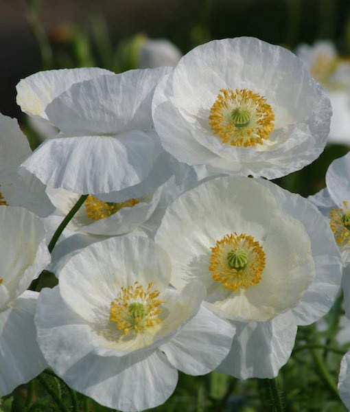 Shirley poppy seeds corn poppy annual flower seeds poppy shirley bridal silk mightylinksfo