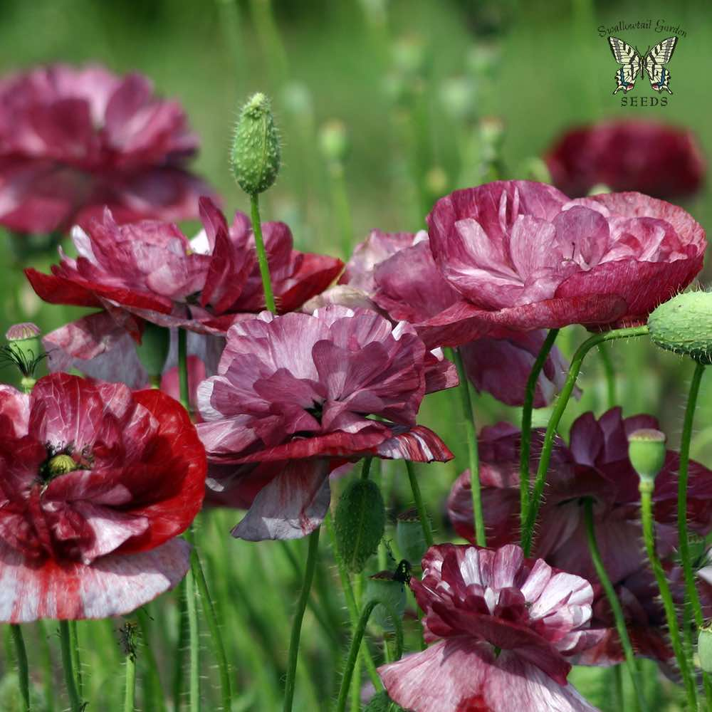 Shirley poppy seeds corn poppy annual flower seeds poppy shirley pandora mightylinksfo
