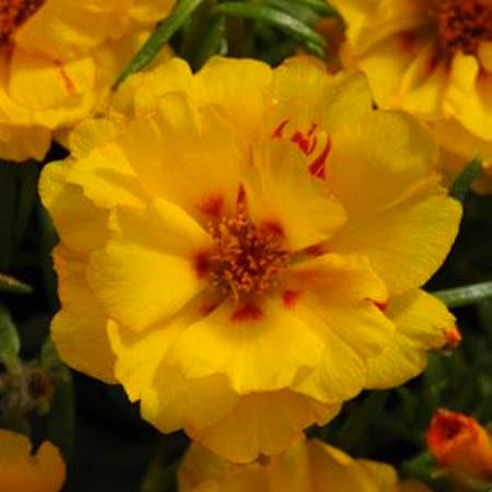 Portulaca Happy Hour Banana garden seed - Annual Flower Seeds