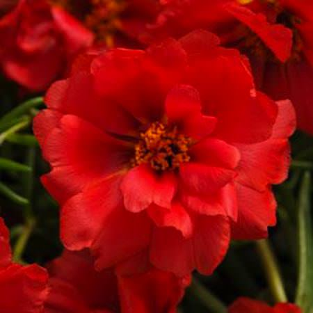Happy Hour Deep Red portulaca seeds