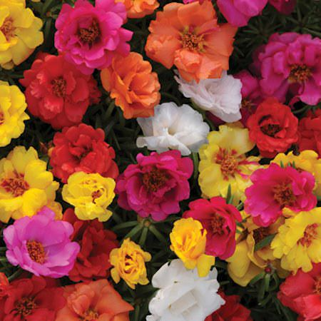 Happy Hour Mixture portulaca seeds