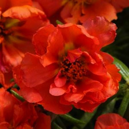 Happy Hour Orange portulaca seeds