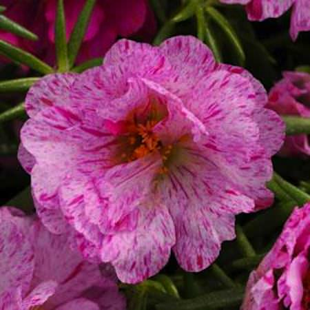Happy Hour Peppermint portulaca seeds