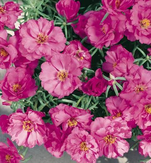 Portulaca Sundial Fuchsia garden seed - Annual Flower Seeds