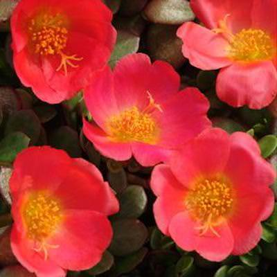 Portulaca Toucan Scarlet Shades garden seed - Annual Flower Seeds