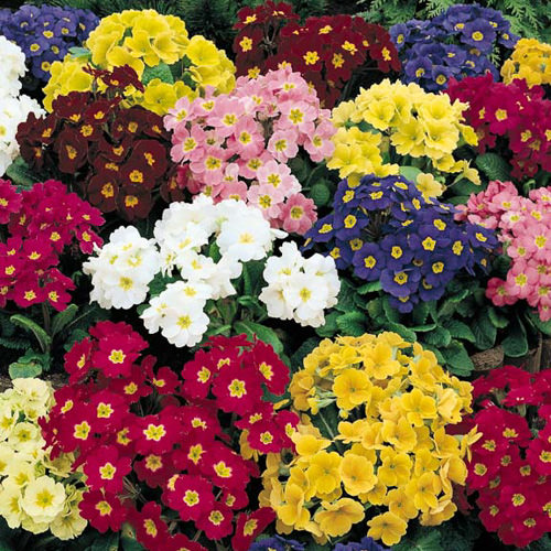 Primrose  cendo Mix perennial flower seeds.