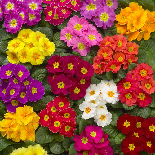 Primrose Danova Grower's Select Mix perennial flower seeds.