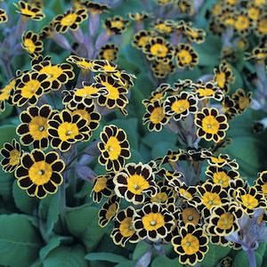 Gold Lace heirloom primroses perennial flower seeds.