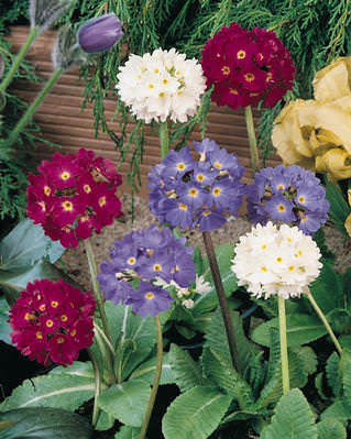 Primrose Ronsdorf Drumstick - Primula denticulata