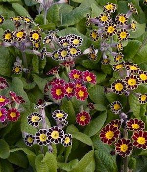 Primrose Victorian Laced - Primula x polyantha