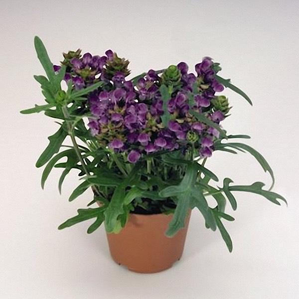 Prunella Bella Blue - Prunella grandiflora