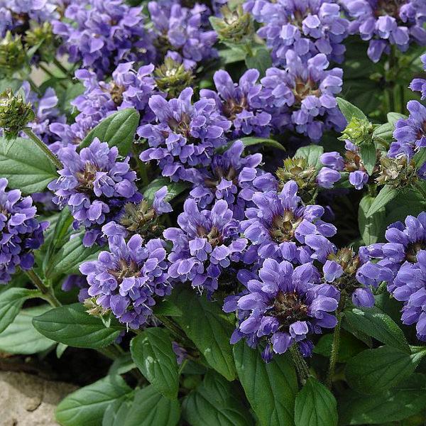 Prunella Freelander Blue - Prunella grandiflora
