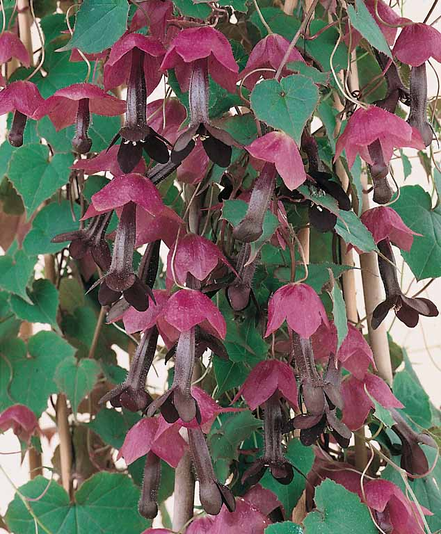 Purple bell vine seeds rhodochiton flowering vine seeds purple bell vine seeds mightylinksfo