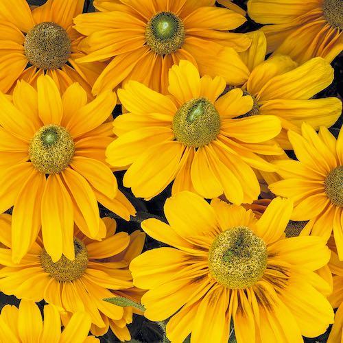 Rudbeckia Amarillo Gold Black-eyed Susan flowers