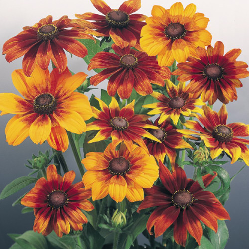 Autumn Colors rudbeckia flowers