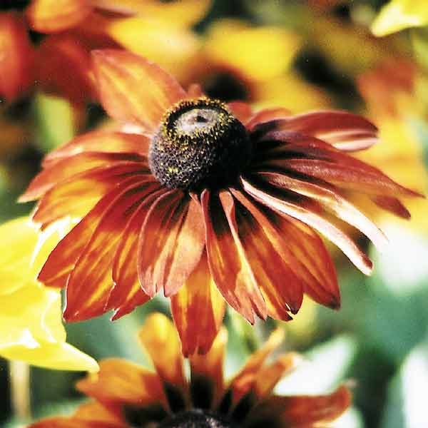Rudbeckia Autumn Colors flowers