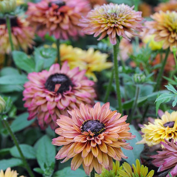 Rudbeckia Caramel Mixed Black-Eyed Susan
