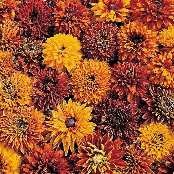 Rudbeckia Cherokee Sunset Black-eyed Susan