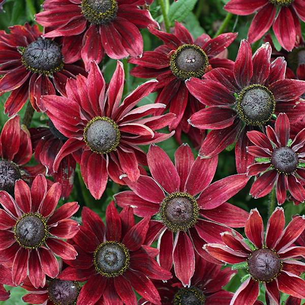 Rudbeckia Cherry Brandy Black-eyed Susan - Annual Flower Seeds