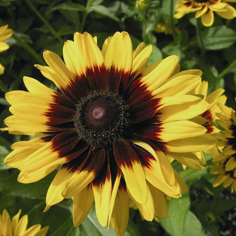 Rudbeckia Denver Daisy Black-eyed Susan