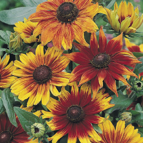 Autumn Colors rudbeckia
