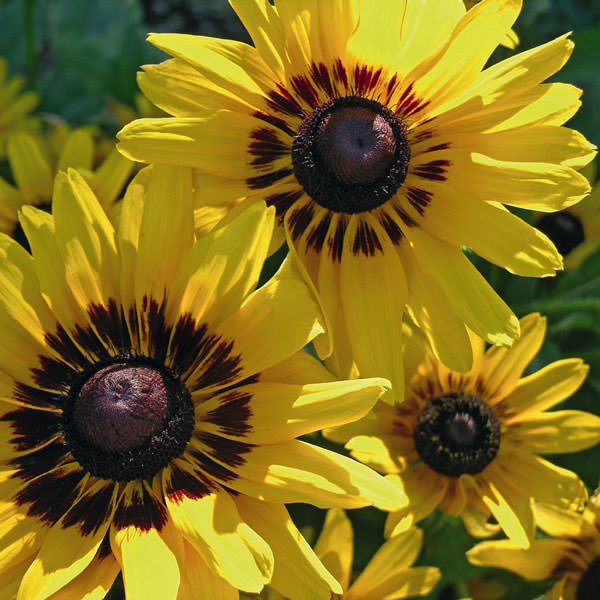 Denver Daisy Black-eyed Susan