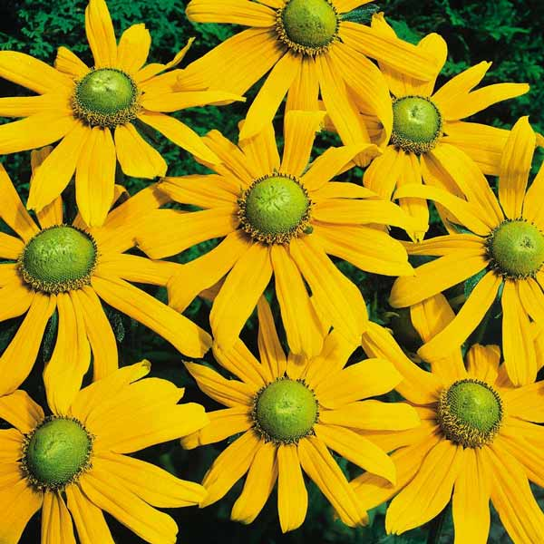 Rudbeckia Irish Eyes Black-eyed Susan
