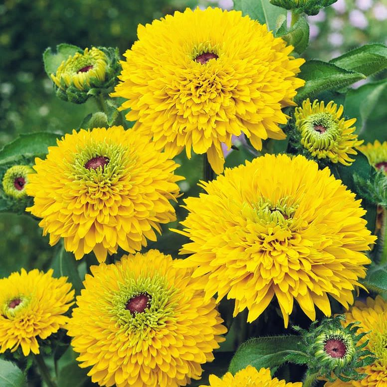Rudbeckia Maya Black-eyed Susan - Annual Flower Seeds