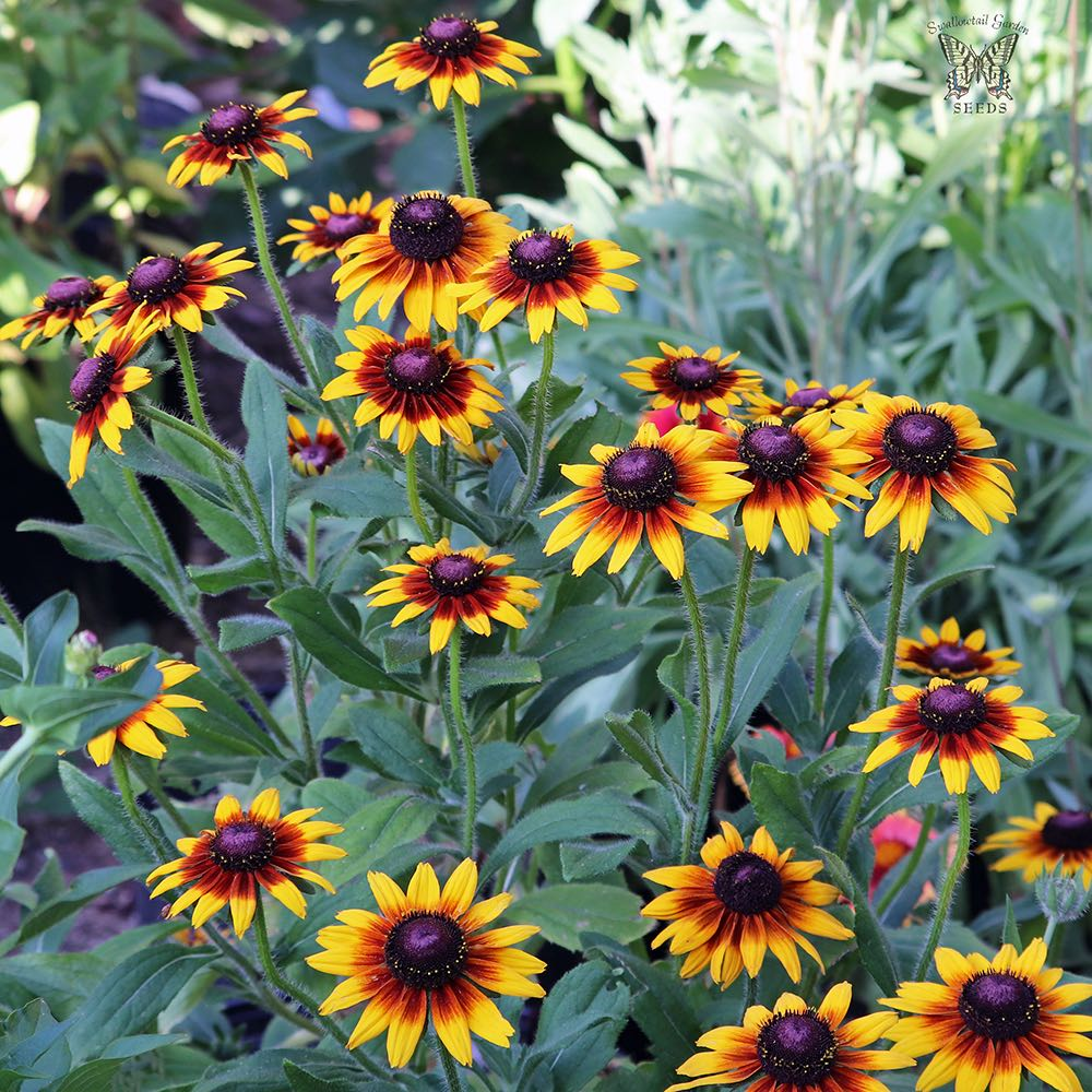 Rudbeckia Orange fudge Black-eyed Susan flowers