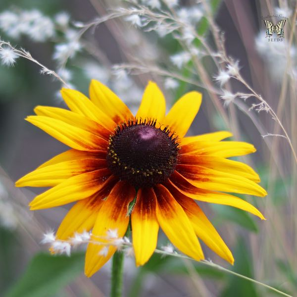 Rudbeckia Orange fudge Black-eyed Susan