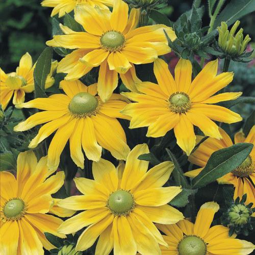 Rudbeckia Prairie Sun Black-eyed Susan flowers