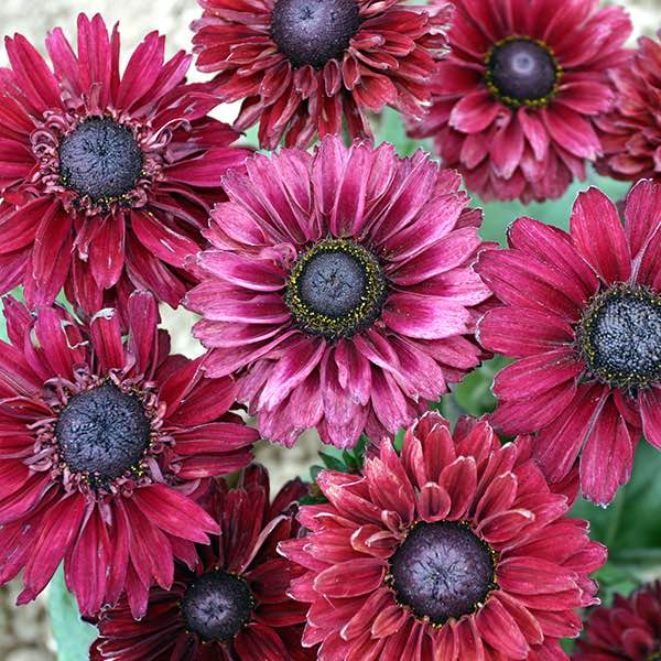 Rudbeckia Ruby Ruby - Annual Flower Seeds