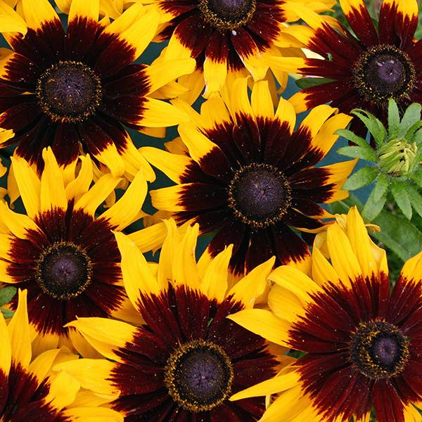 Rudbeckia Solar Eclipse - Annual Flower Seeds
