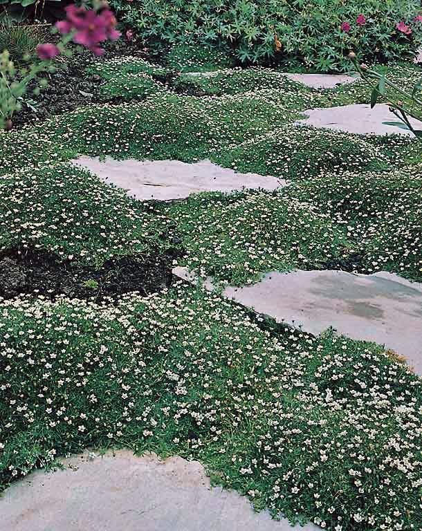 Irish Moss - Sagina subulata - Perennial Flower Seeds