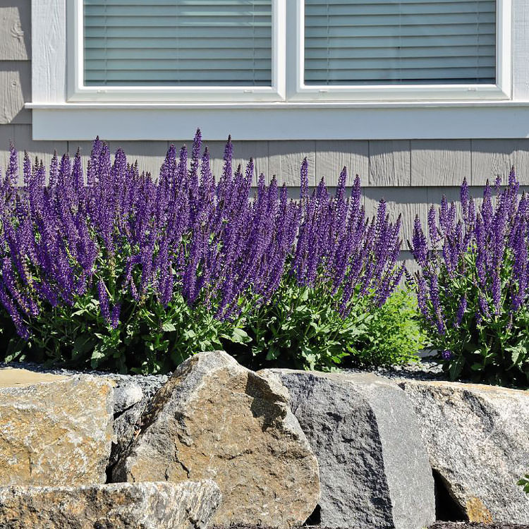Salvia Adora Blue