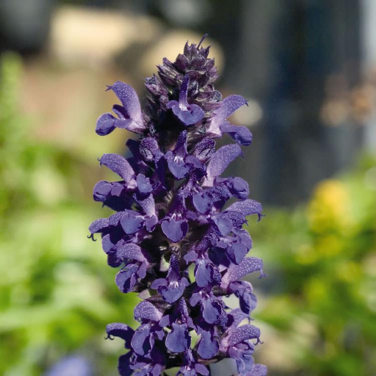 Salvia Adora Blue - Salvia nemorosa