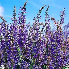 Salvia Blue Cloud - Salvia transsylvanica